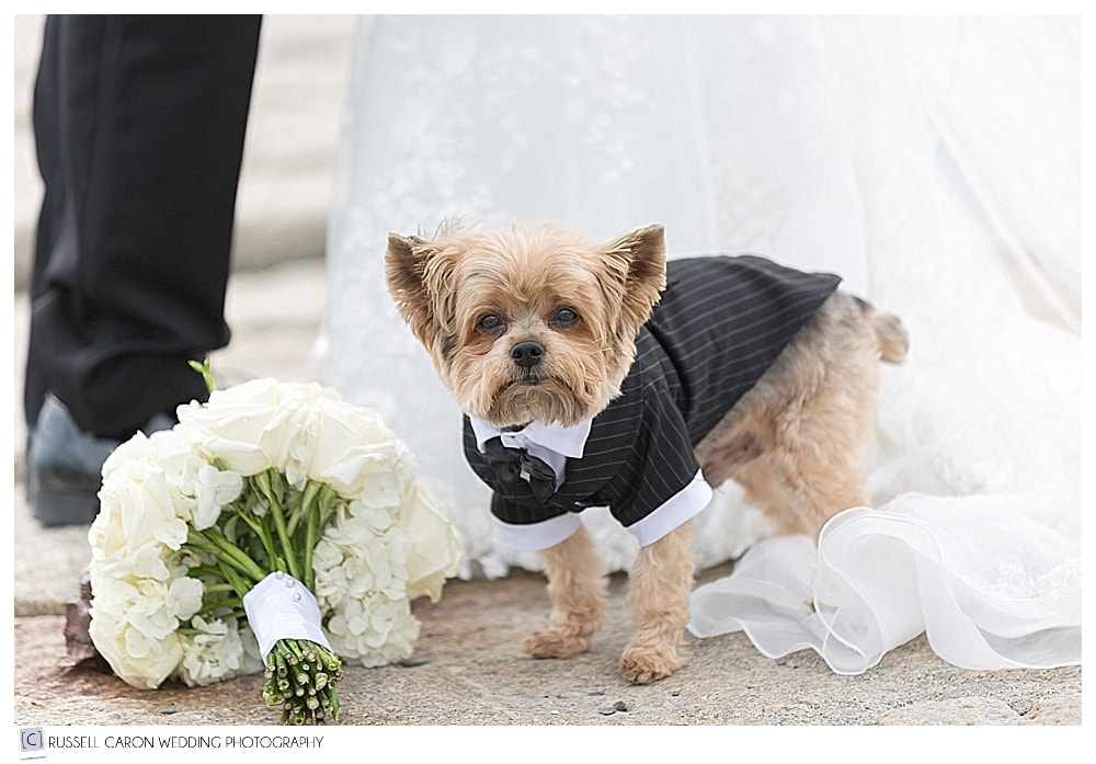 yorkie dressed in a tux for wedding