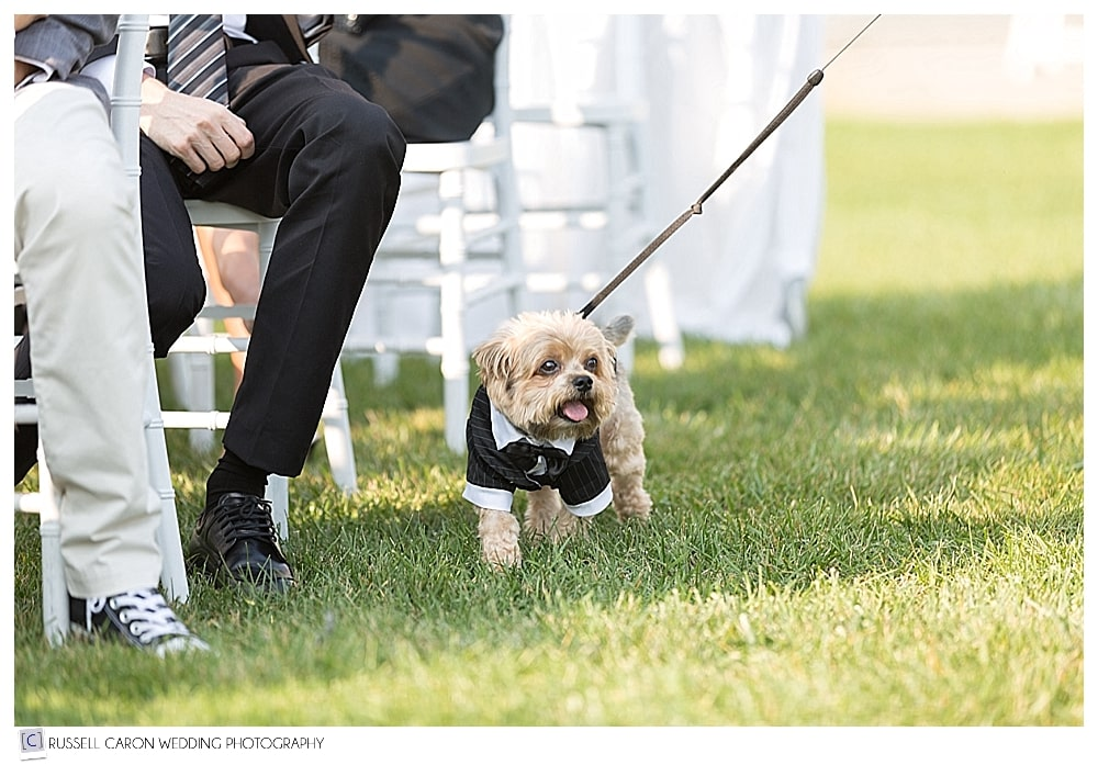yorkie in a tux walking down the aisle