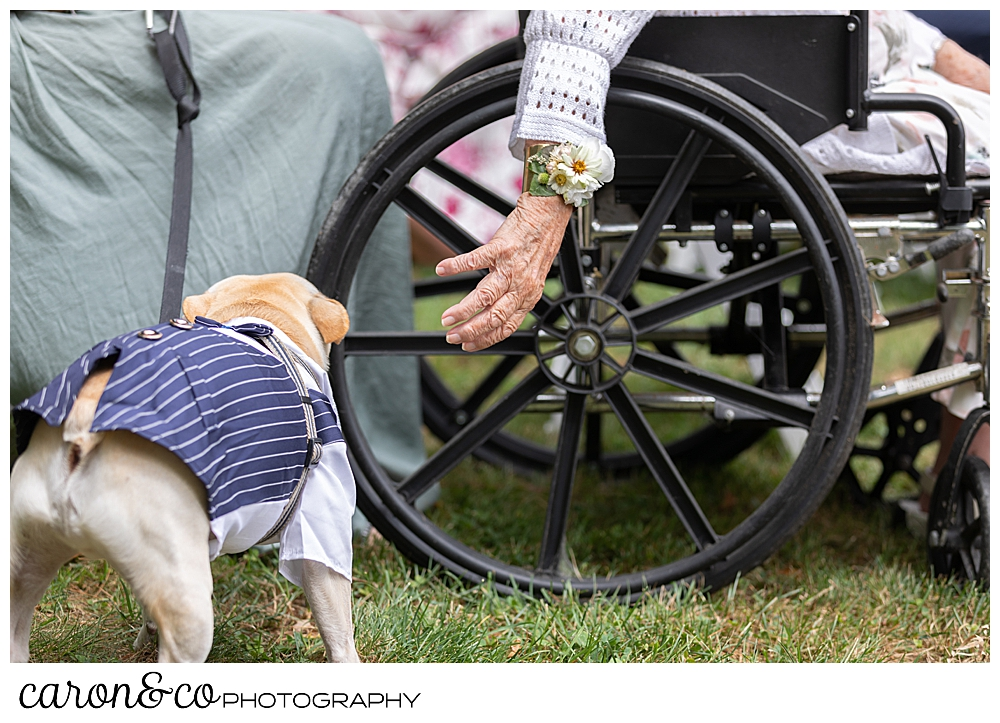 a hand with a wrist corsage, reaches down to a dog wearing a tuxedo at a Grey Havens Inn wedding, Georgetown Maine
