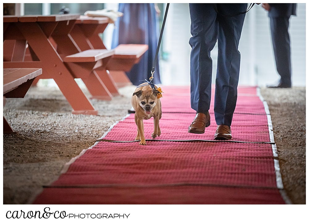 a man walks a leashed dog down a red carpet