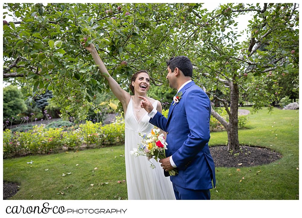 a bride picks an apple in a small orchard at a joyful Pineland Farms wedding